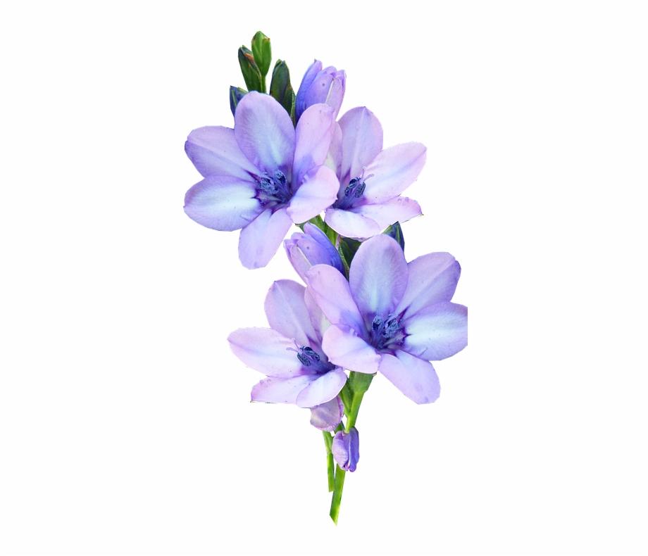 Mauve bulb pastel fleur. Lavender clipart light purple flower
