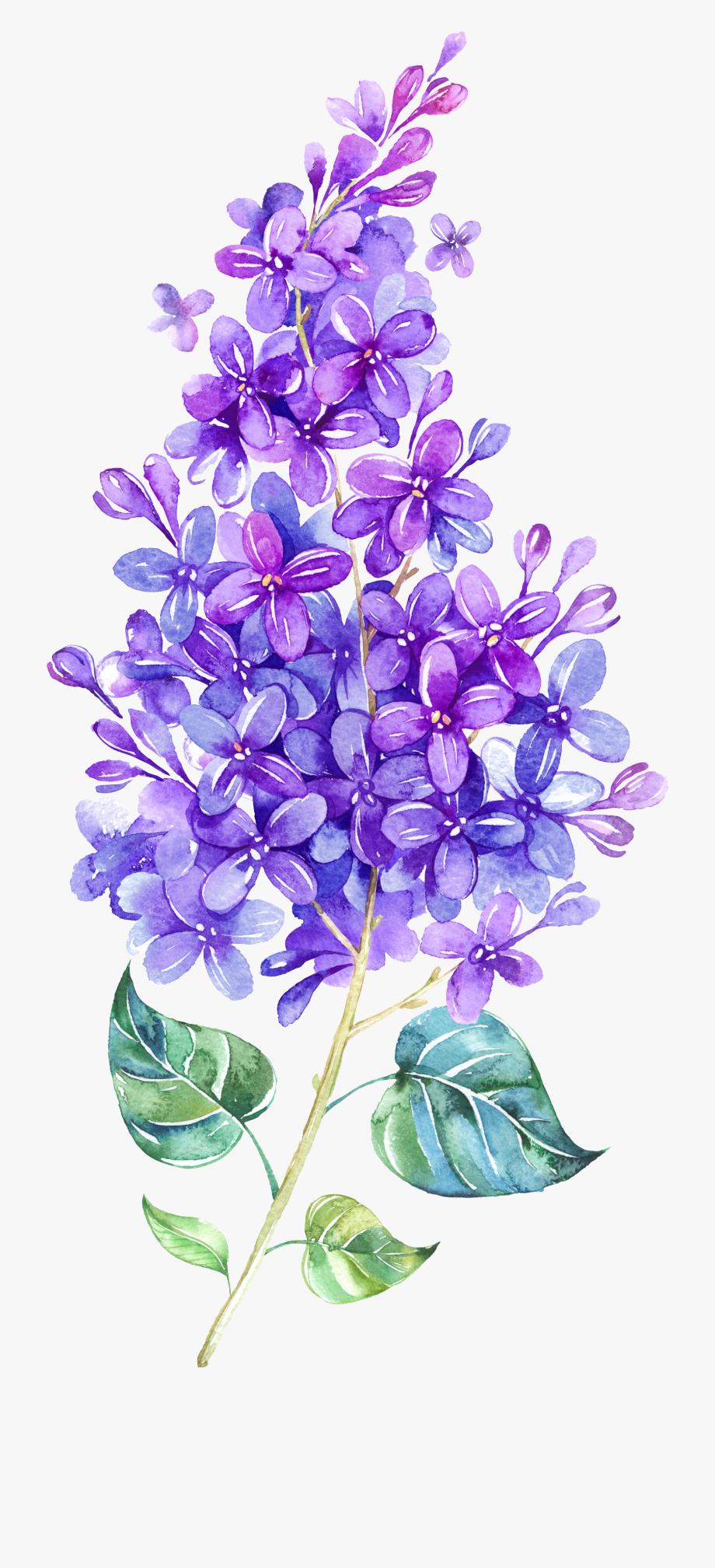 Watercolor png . Lavender clipart lilac