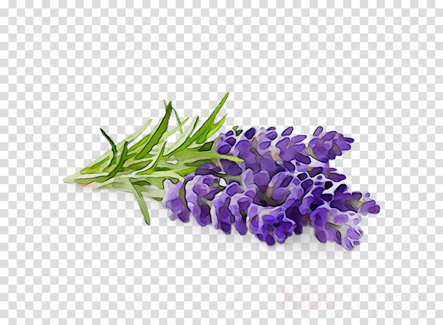 Background flower purple . Lavender clipart lilac