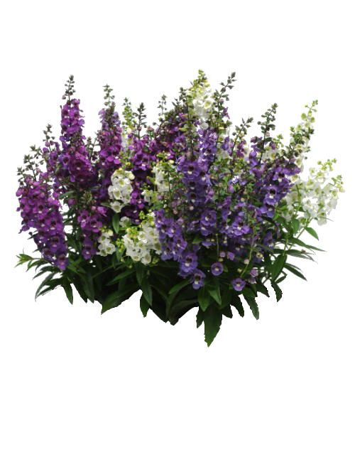 Pin by on png. Lavender clipart purple loosestrife