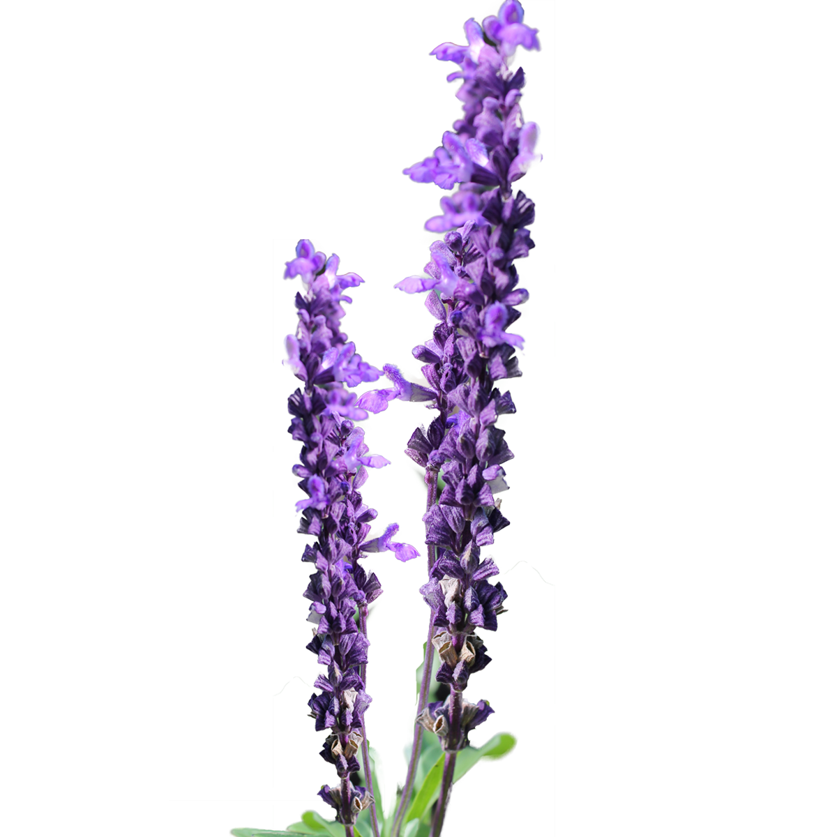 Lavender flower png. Clipart purple loosestrife free