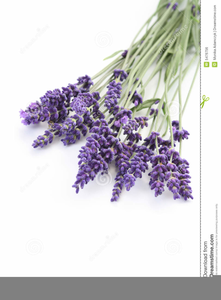 Lavender clipart royalty free. Images at clker com