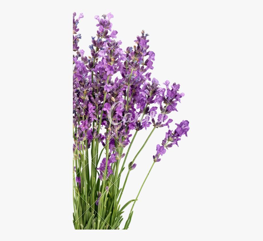 Flowers photos by canva. Lavender clipart transparent background