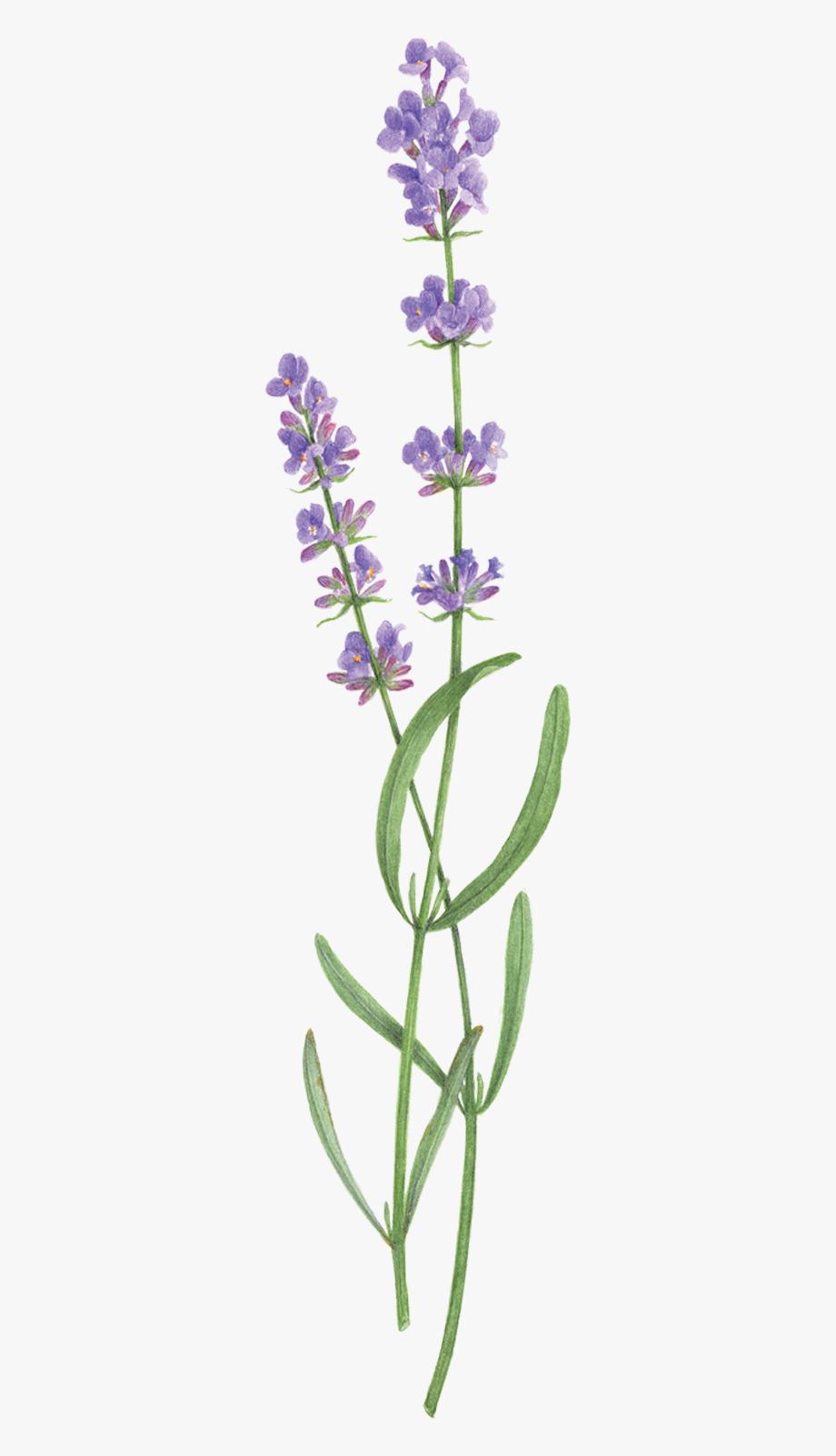 Lavender clipart transparent background. Sprig
