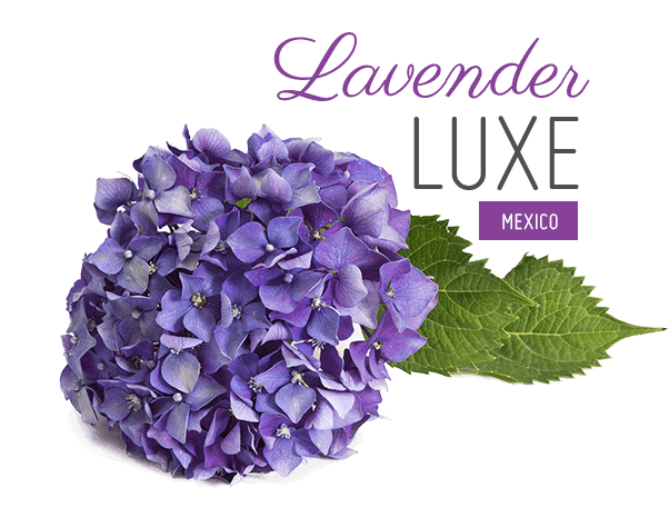 Lavender flower png. Lavander luxe collection for