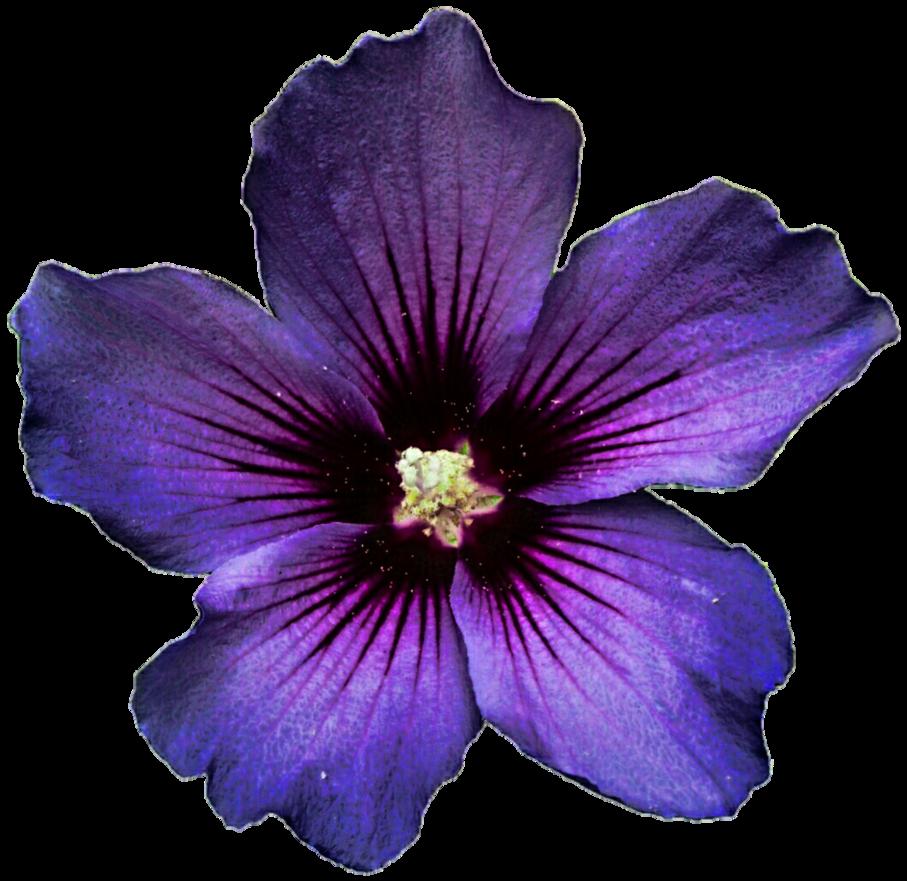 Lavender flower png. Dark hibiscus by jeanicebartzen