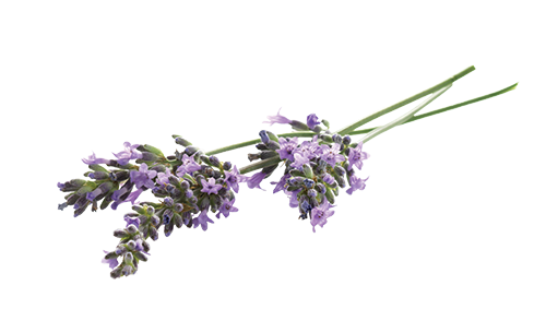 Lavender flower png. Image result for transparent