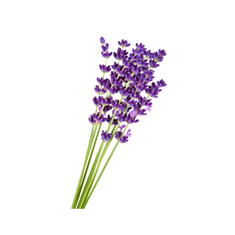 Lavender flower png.  for free download