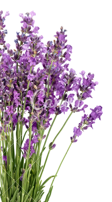 Flowers photos by canva. Lavender flower png