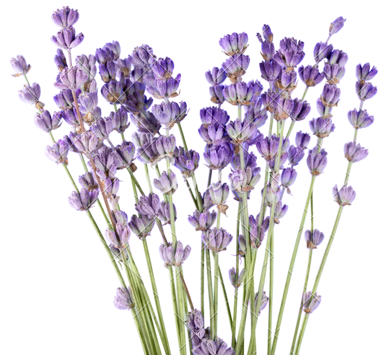 Lavender flower png. Flowers photos by canva