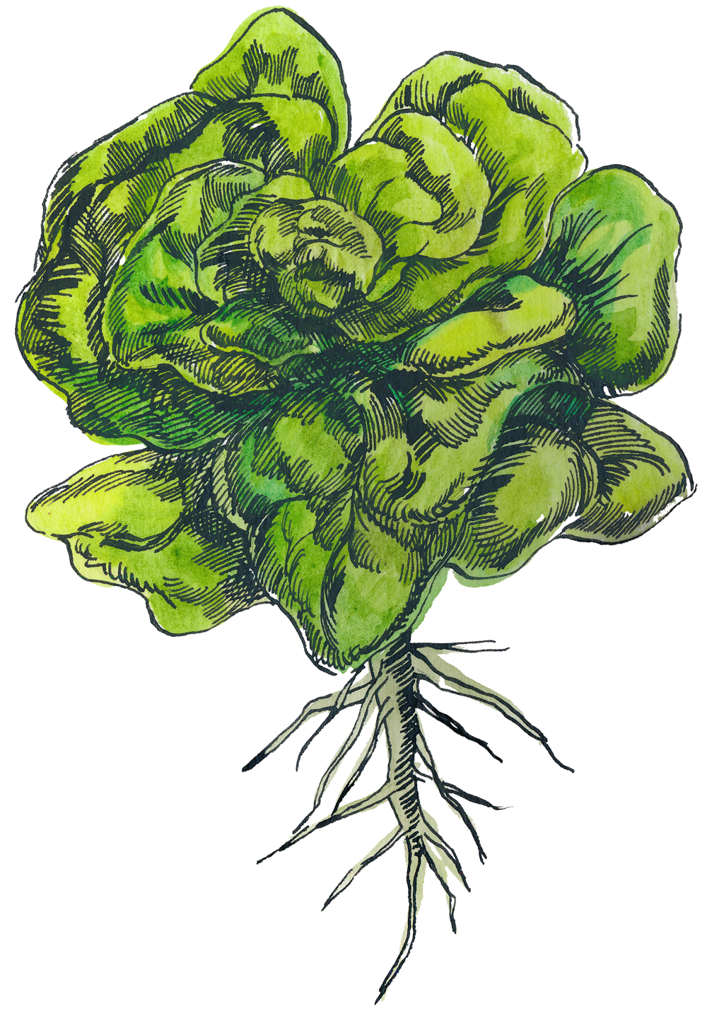 Montana harvest of the. Leaf clipart leafy greens