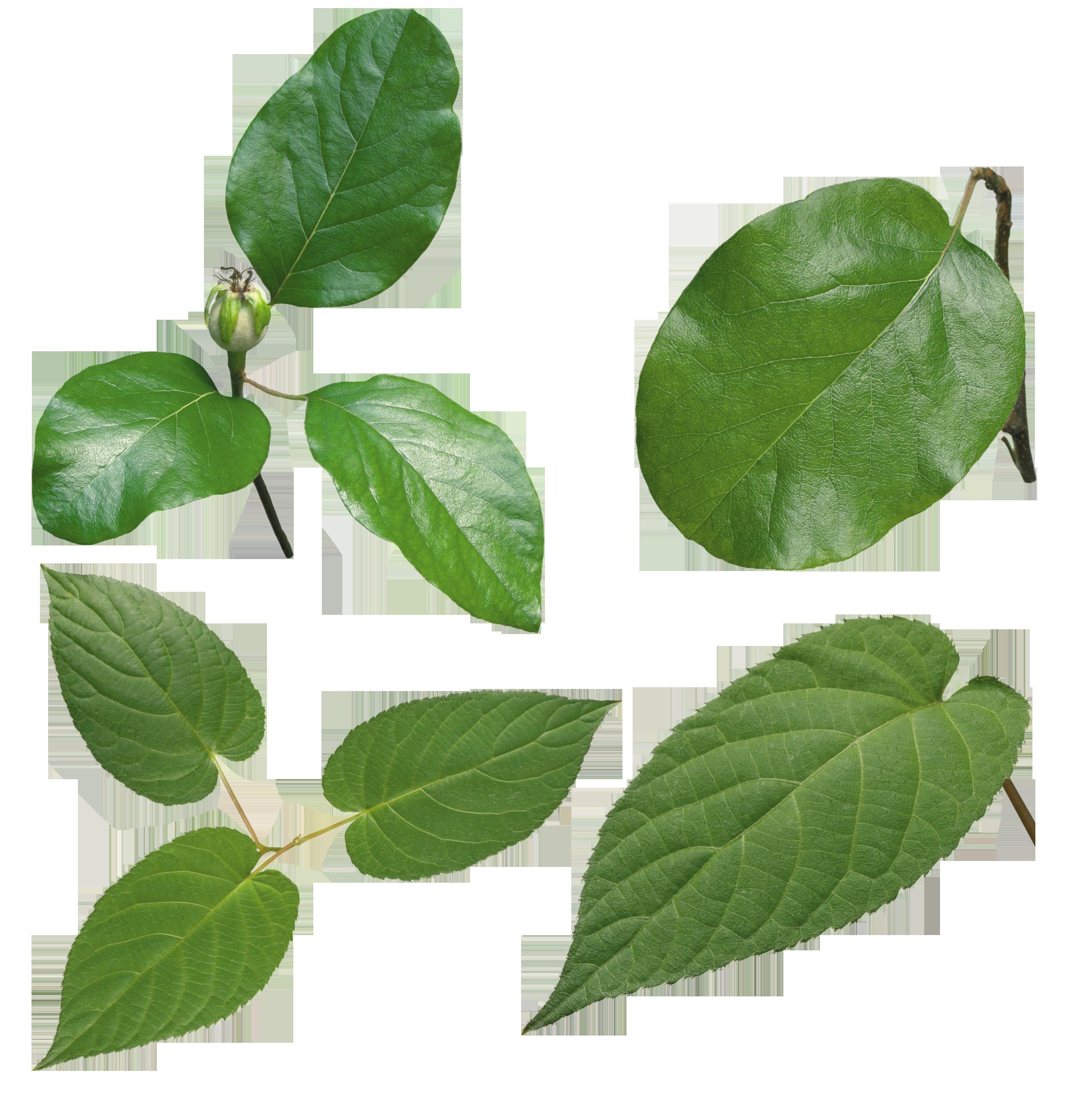 Green leaves png image. Leaf clipart transparent background