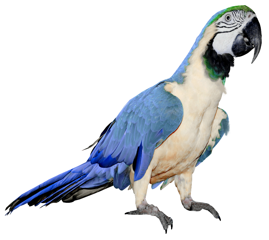 White clipart parrot. Large blue and png