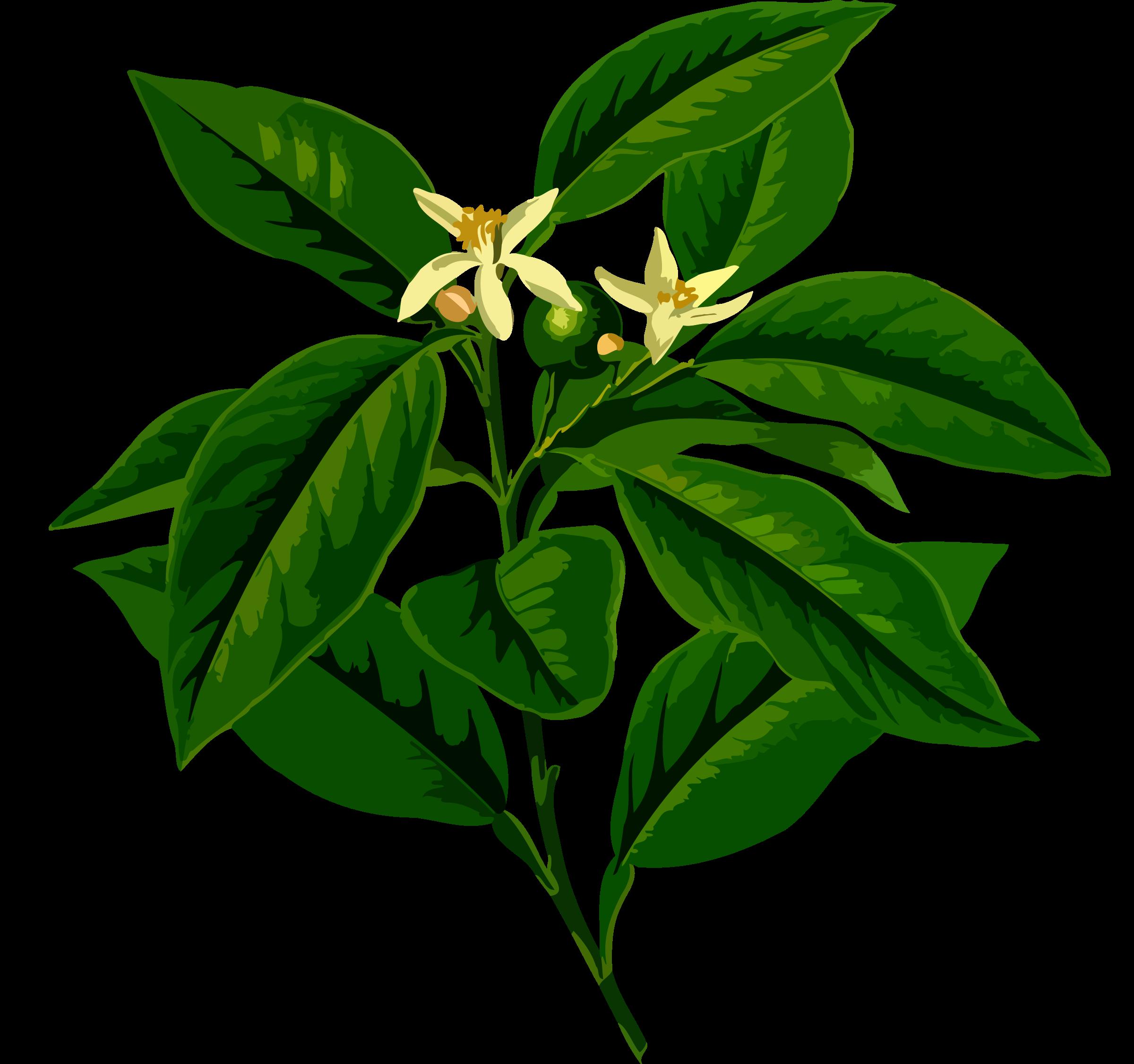 Lemons clipart citrus tree. Lemon low resolution big