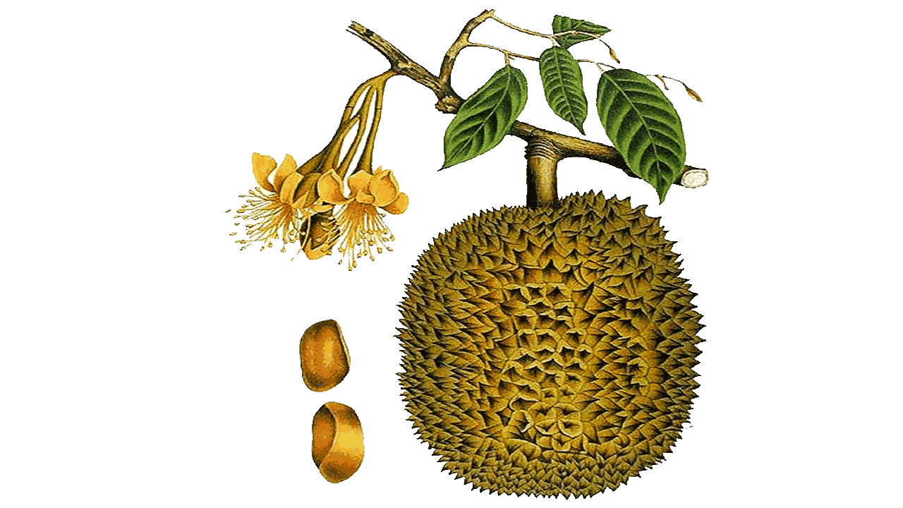 Tree clipart jack fruit. Attractive fruits and vegetable