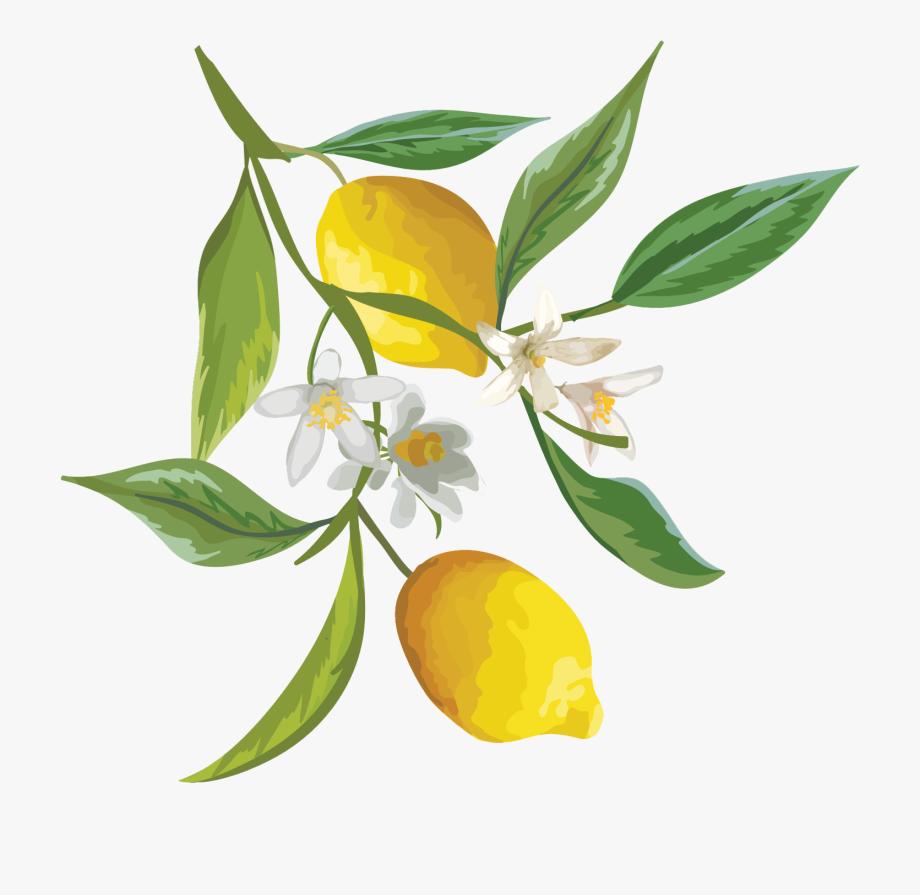 Watercolor lemon . Lemons clipart citrus tree