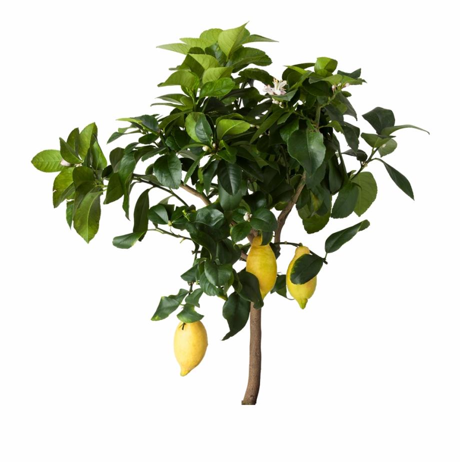 Lemons clipart citrus tree. Lemon png ikea free
