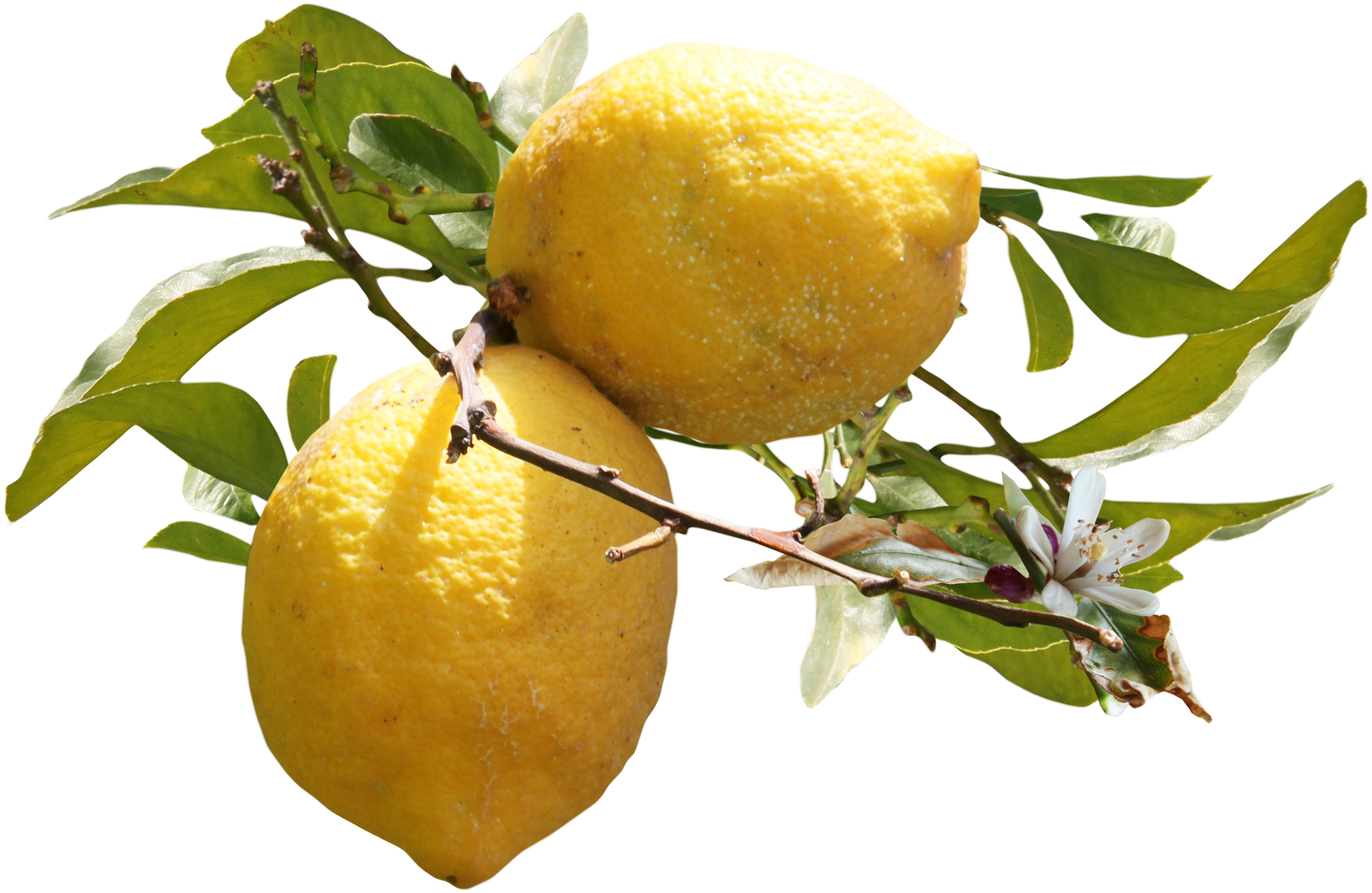 Auglis clip art grow. Lemons clipart lemon leaf