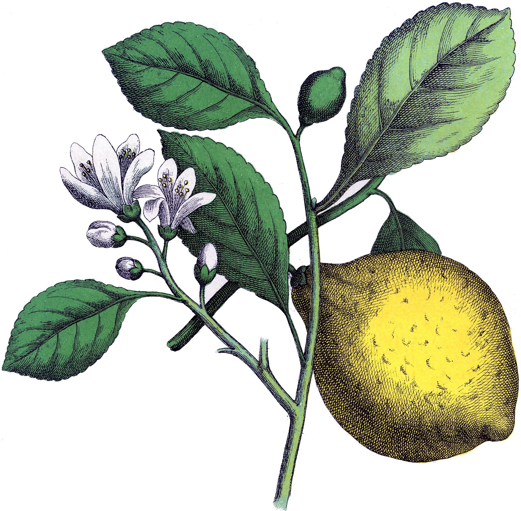 Fantastic botanical lemon image. Lemons clipart vintage