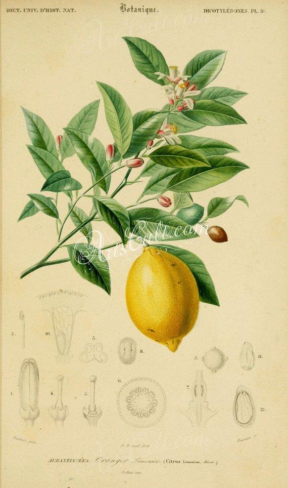 Fruits lemon citrus limonium. Lemons clipart vintage