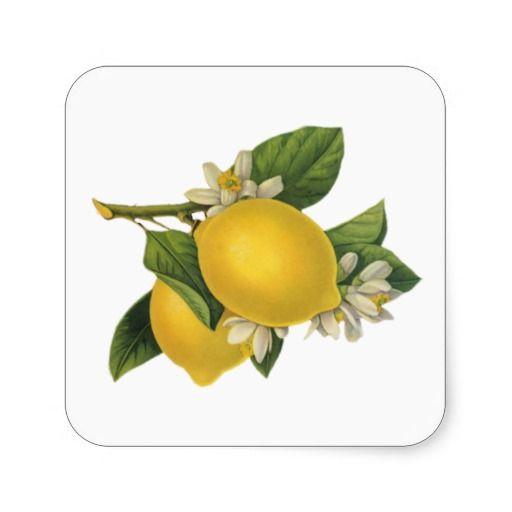 Lemons clipart vintage. Illustration square sticker zazzle