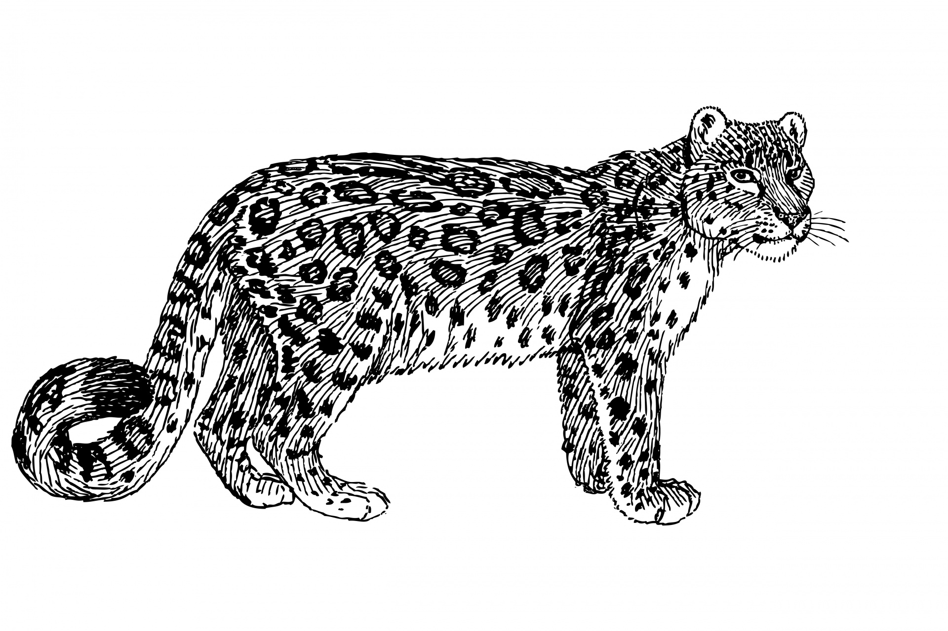 Snow illustration free stock. Leopard clipart