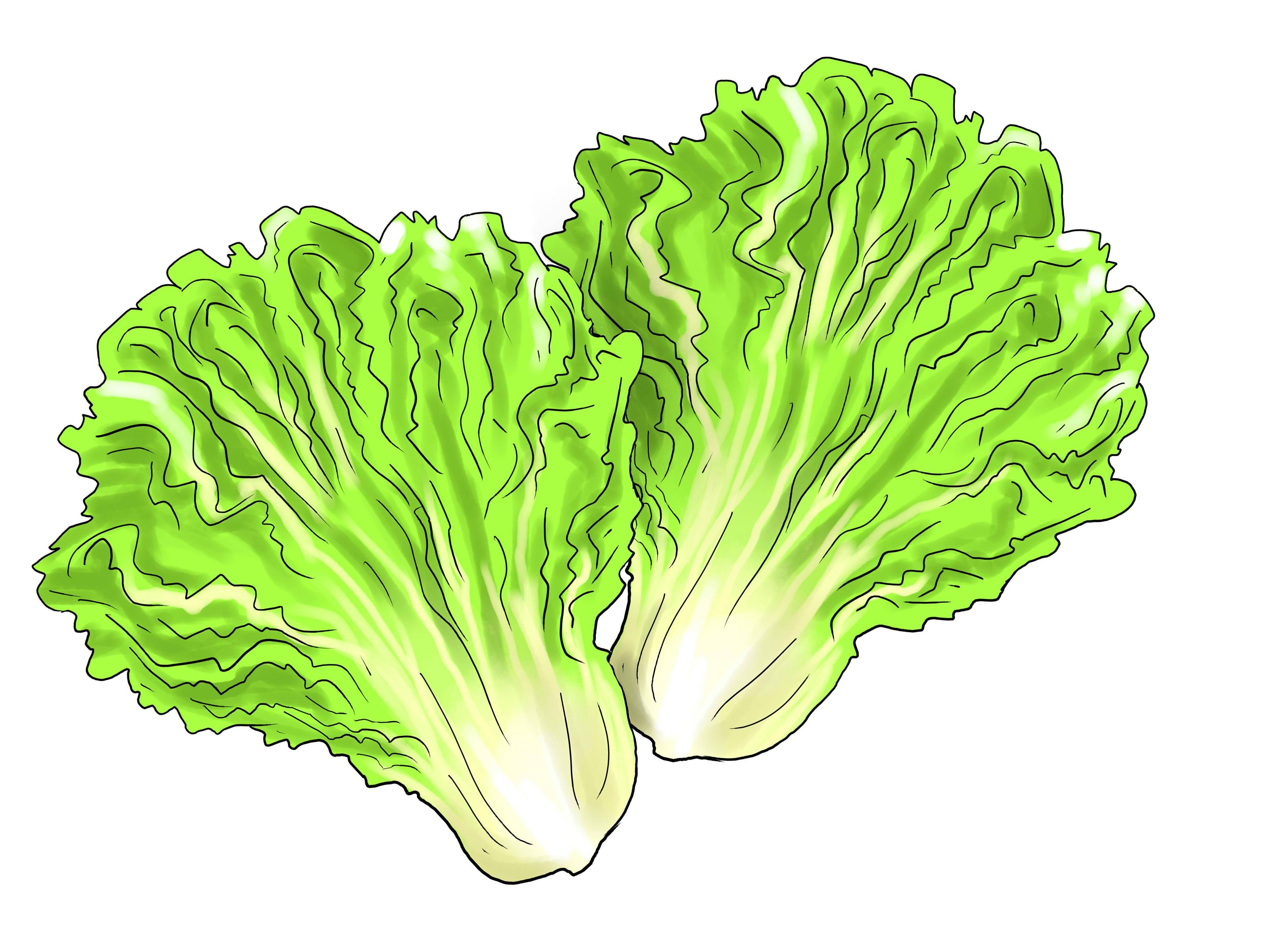 Fresh collection digital coloring. Lettuce clipart