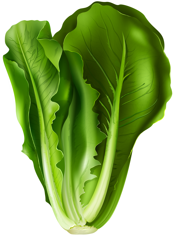 Lettuce png clip art. Hearts clipart vegetable