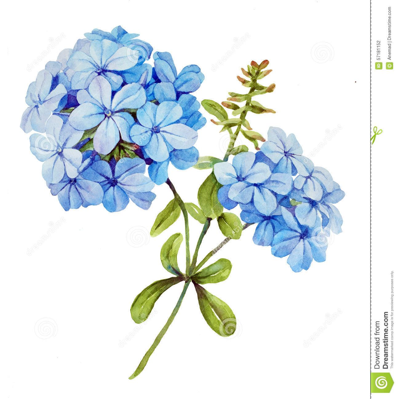 Lily clipart blue jasmine. Watercolor flower download from