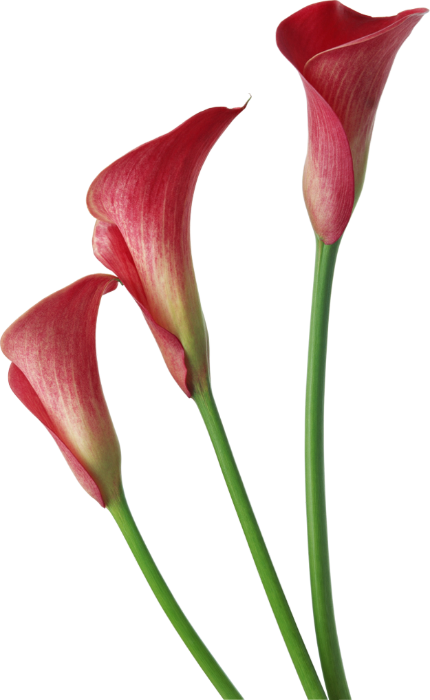 Purple clipart calla lilies. Red transparent flowers pinterest
