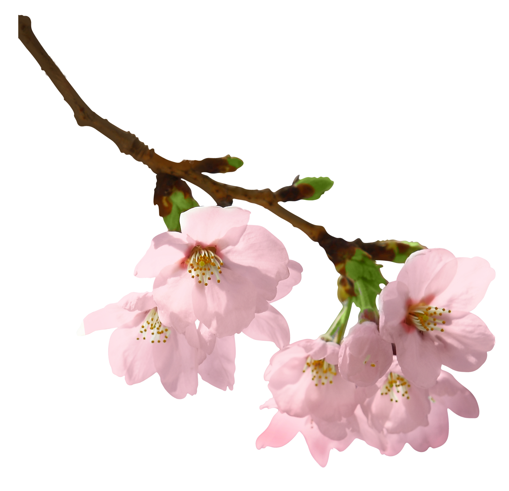 Spring picture leaves branches. Flower branch png