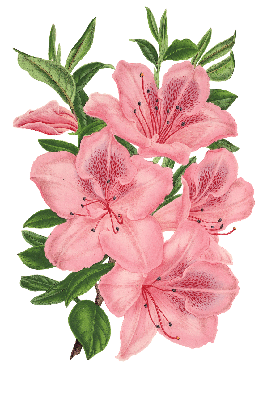 Pink bunch of flowers. Flower drawing png