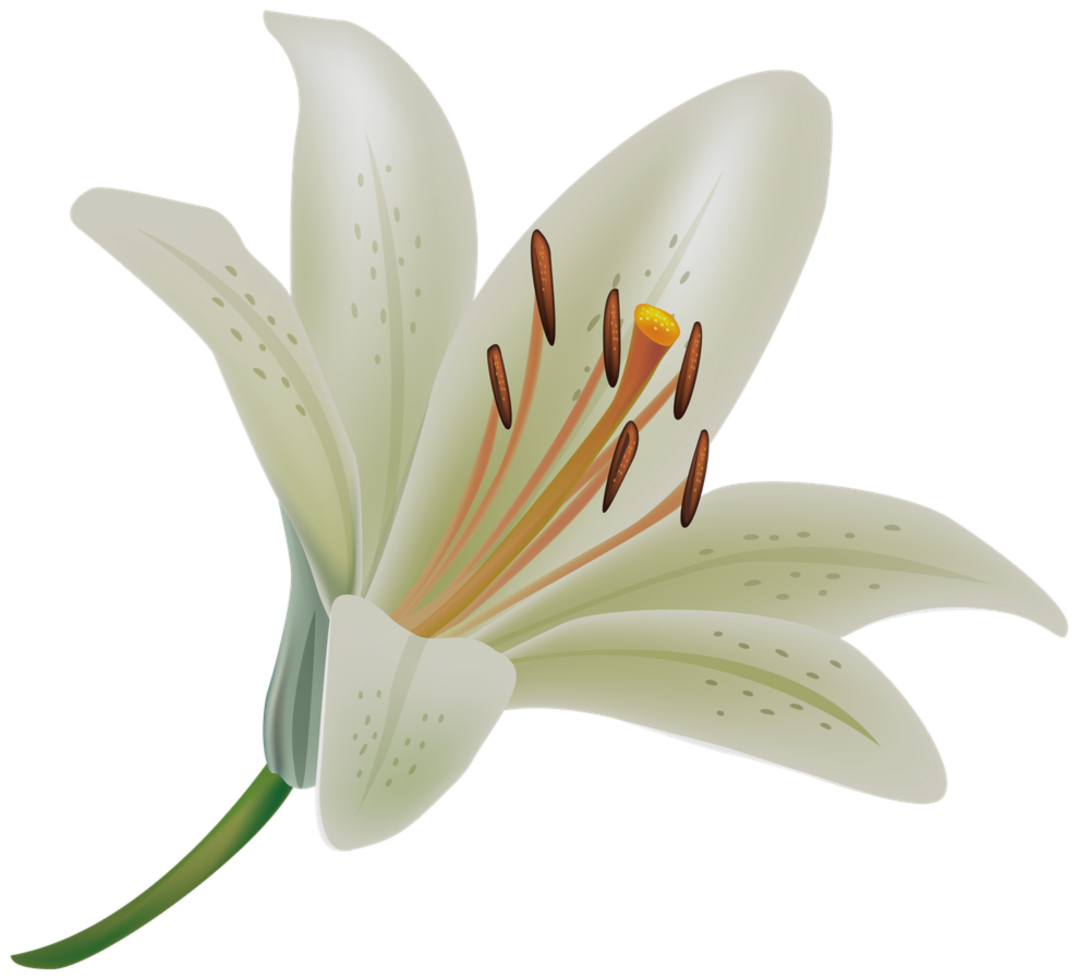 Lily flower png. Fresh collection of pictures