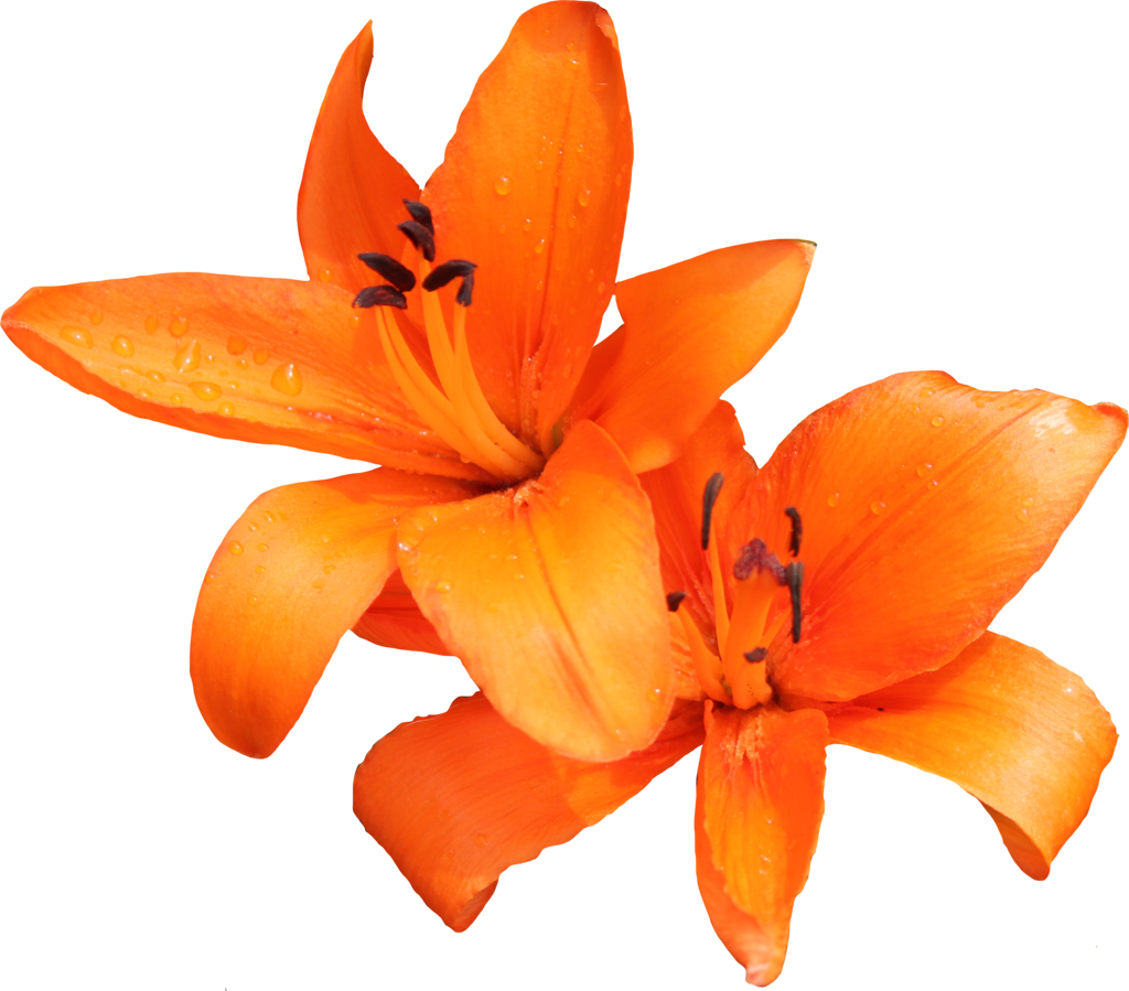 lily clipart orange lily