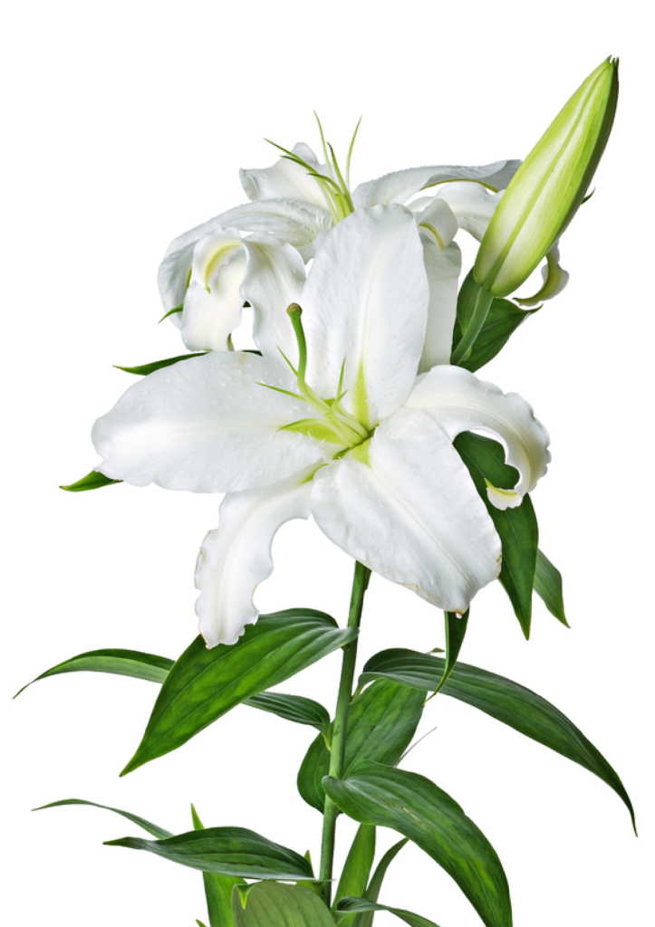 lily clipart peace lily