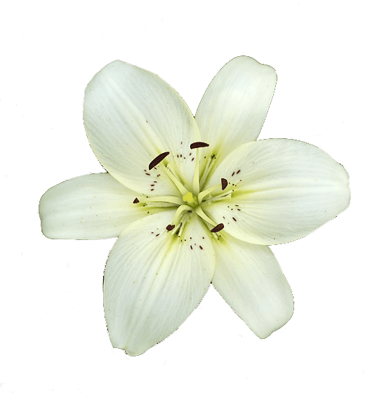 White transparent stickpng. Lily flower png