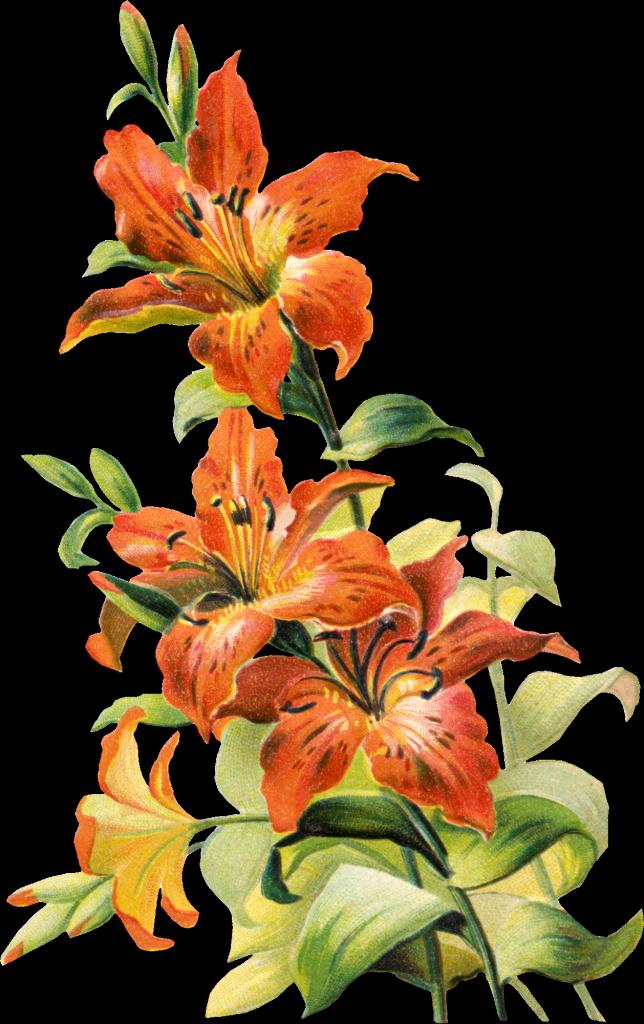 Lily vintage