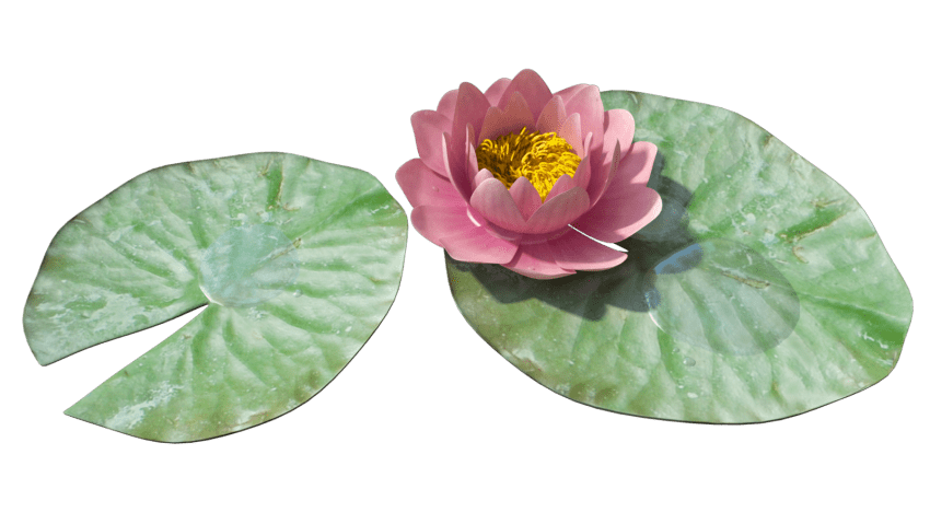 Lily clipart waterlilly. Water png free images