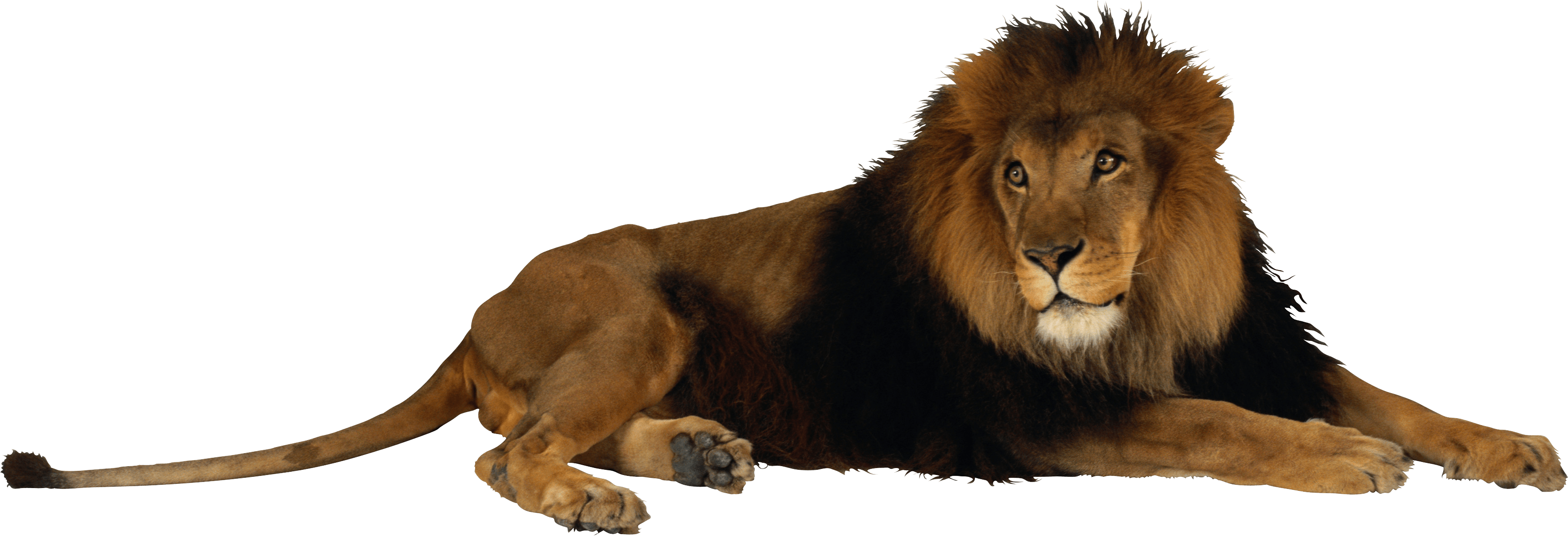 Png image animals animales. Trail clipart lion