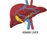 Free anatomy clip art. Liver clipart
