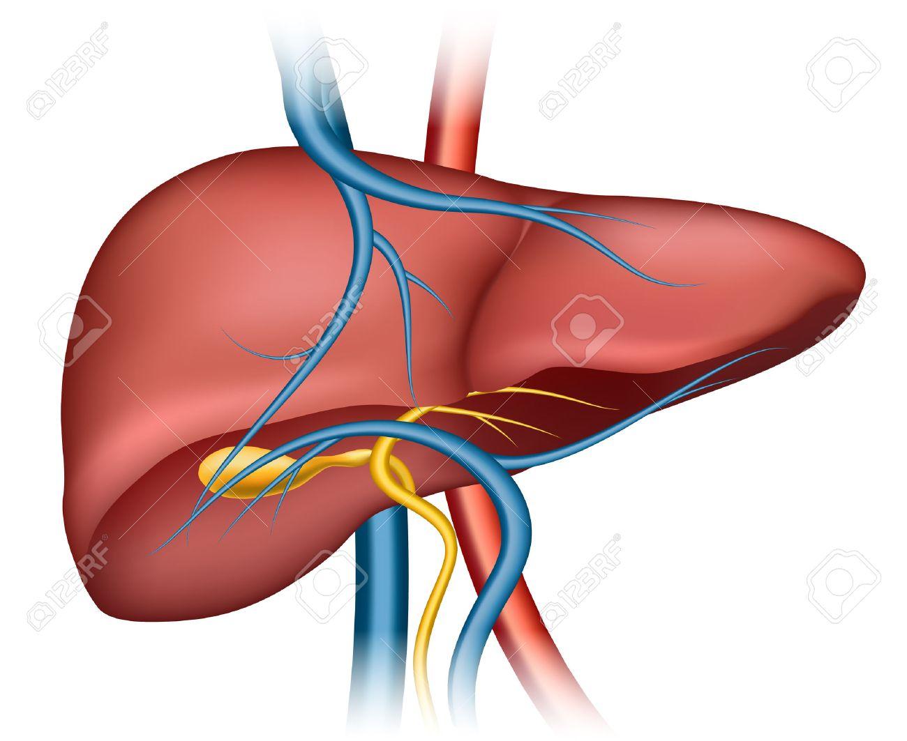 Liver clipart. Clip art images real