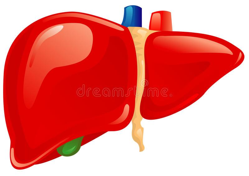 Liver clipart clip art. Download human red