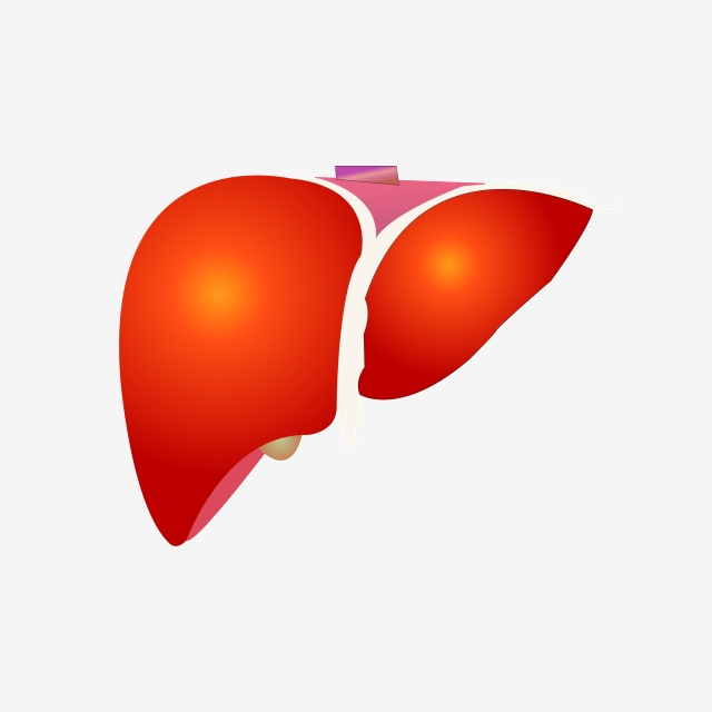 Liver clipart illustration. Human organ hand drawn
