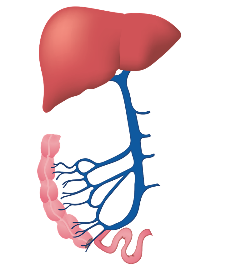 Liver clipart liver damage. Can kratom the times