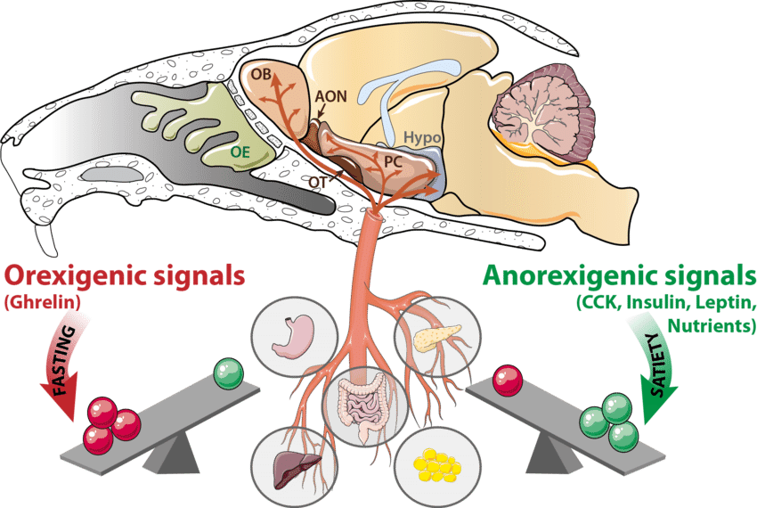 The olfactory system is. Liver clipart pancreas
