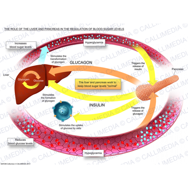 Liver clipart pancreas. The role of and