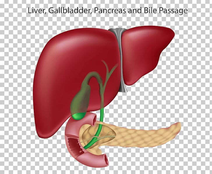 And gallbladder bile duct. Liver clipart pancreas