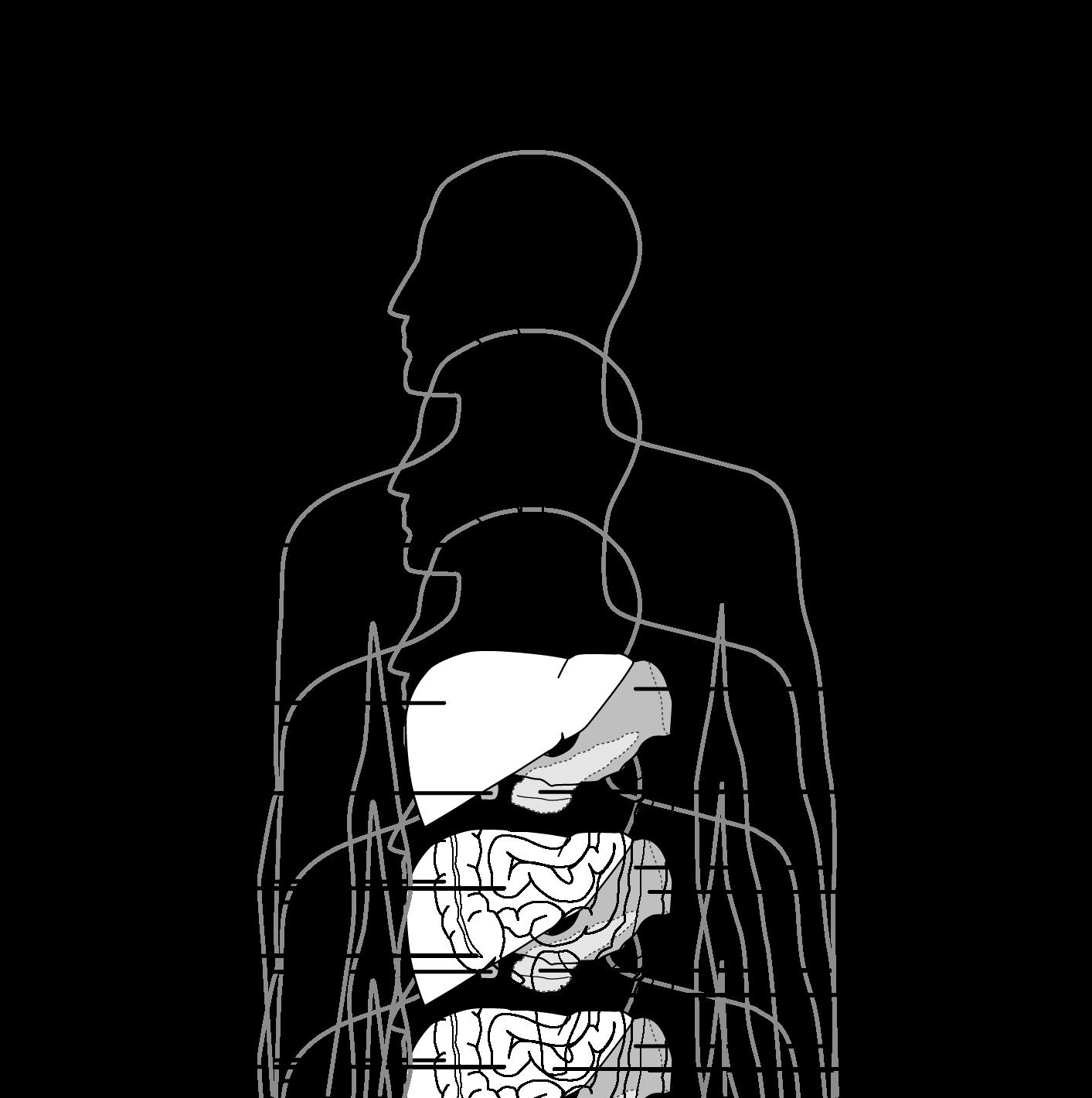 Liver Clipart Unlabeled  Liver Unlabeled Transparent Free For Download On Webstockreview 2020