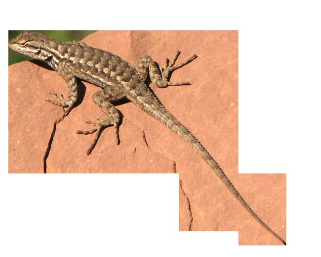 Lizard clipart chipkali. Png transparent images pluspng