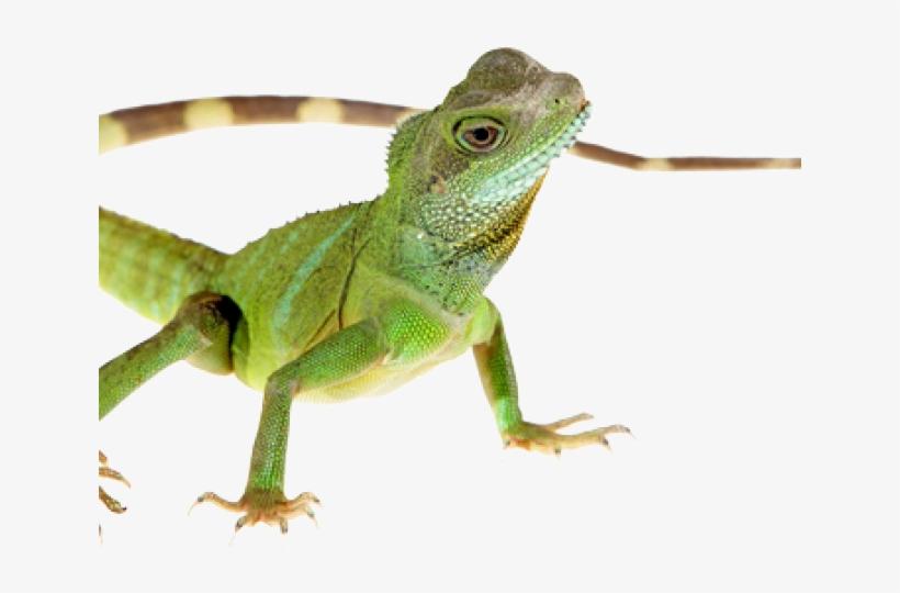 Lizard clipart chipkali. Transparent png image